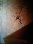 Huntsman spider in the Philippines
