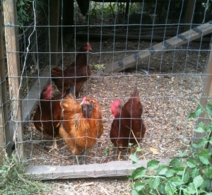 Chickens want out