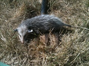 Opossum on pitchfork