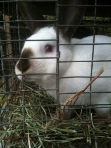rabbit with hay
