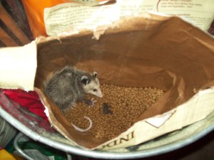 opossum in bag of cat food