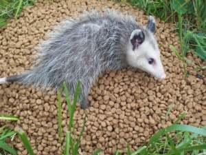 the opossum!
