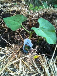 Bush bean start in my straw bale garden