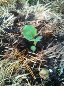 Cauliflower growing in straw bale garden