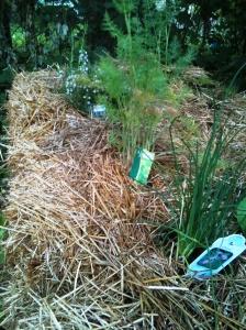 row of herbs in my straw bale garden